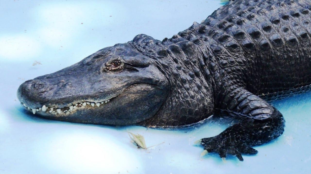 Mujo, az aligátor