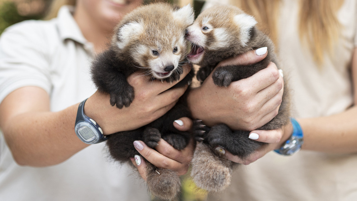Vörös pandák
